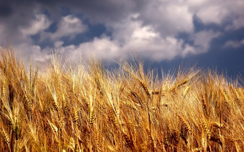 Wheat field | Teachings of Jesus